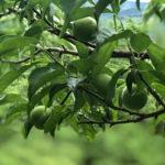7/17 Ume Plum Work – Green Ume Plum Puree